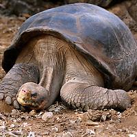 "South America, Ecuador, Galapagos Islands. ""Lonesome George"", the last living purebred Abingdon Island Tortoise."