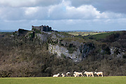 Sheep grazing in a field on the estate of Carreg Cennen Castle on 18th February 2019 in Trapp, Powys, Wales, United Kingdom. The castle has been in a ruinous state since 1462 and is under the care of Cadw, the Welsh Government historic environment service, however the estate is used as working farm land.
