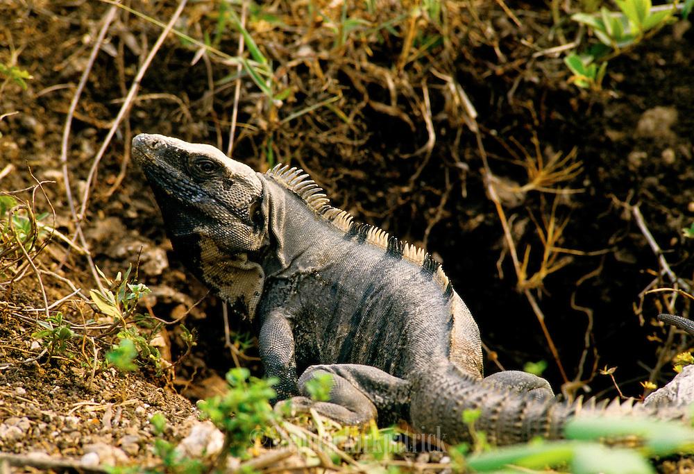 Spiney Lizard hunts for food in jungle - Belize