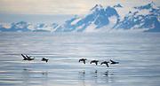 Eiders crossing Krossfjord in western Spitsbergen, Svalbard.