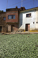 The sun of Yungas will dry naturally the coca leaves, they put the harvest everywhere job, work, agricolture
