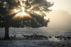 © Licensed to London News Pictures. 28/10/2019. London, UK. Deer shelter underneath a tree at first light, in a frost and mist covered landscape on a bright winter morning in Richmond Park, London. The UK is due to see brighter weather over the next few days, following days of heavy rain which caused flooding in parts. Photo credit: Ben Cawthra/LNP