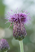 Macro of a creeping thistle flower head, near the River Parrett in Somerset, UK
