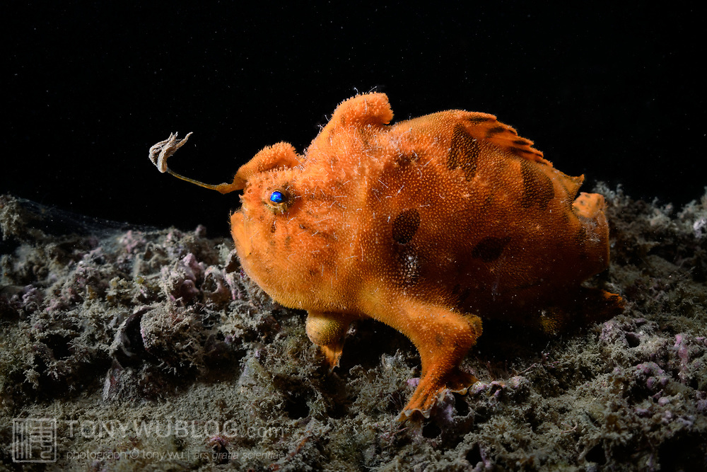This is a large male hairy frogfish (Antennarius striatus) with his esca, or lure, extended to entice prey. The esca is situated at the end of a long rod called the illicium, which is the fish's front-most dorsal fin. The white hair-like protrusions of the fish's body are small skeleton shrimp (Caprellidae), clearly visible at 100% magnification. This photograph was taken five days prior to this fish spawning with a smaller female.
