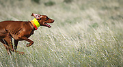 SHOT 5/9/20 8:54:31 AM - Various pointing breeds compete in the Vizsla Club of Colorado Licensed Hunt Test Premium at the Rocky Mountain Sporting Dog Club Grounds in Keenesburg, Co. (Photo by Marc Piscotty / © 2020)