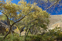 I did not expect to find fall foliage in Death Valley National Park. But these golden trees were clustered around a spring in Emigrant Canyon in the Panamint Range.