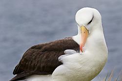 Black brow albatross, Westpointe Island, Falklands