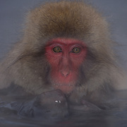 Snow Monkey or Japanese Red-faced Macaque, (Macaca fuscata) In hot springs. Japan.