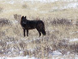 Black Yellowstone Wolf, Lamar Valley, Yellowstone National Park