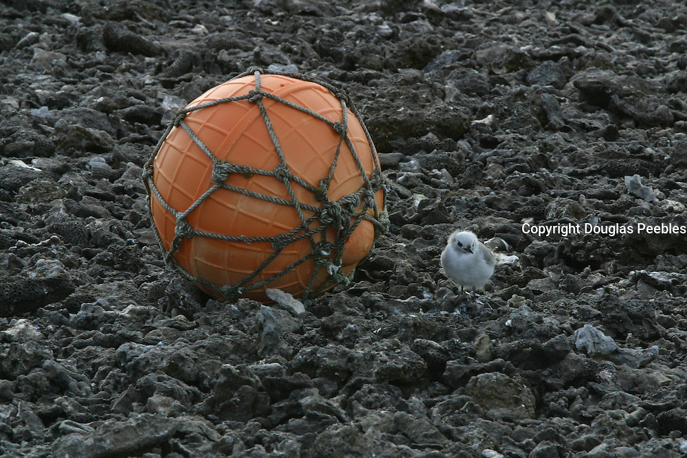 Bird with fishing float, Ducie Island, Pitcairn Group<br />