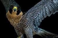 Peregrine falcon, Nature's Educators, which cares for non releasable birds of prey, Sedalia, Colorado USA.
