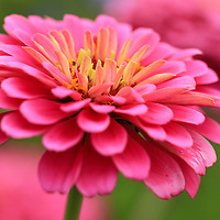 """""""Zinnia's In Pink""""<br /> <br /> Gorgeous pink Zinnia from the Matthaei Botanical Garden in Ann Arbor Michigan!!<br /> <br /> Flowers and Wildflowers by Rachel Cohen"""