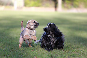 Mojo the border terrier and Henry the cocker spaniel run together in a park