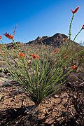 An ocotilla blooms in the Sonoran Desert at the Sus Picnic Area in Saguaro National Park