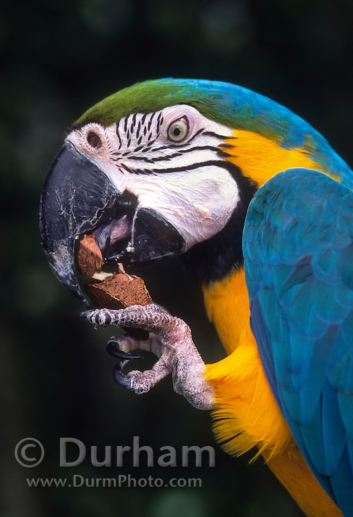 The Blue-and-Yellow Macaw (Ara ararauna), also known as the Blue-and-Gold Macaw, eating a brazil nut. This macaw is a large blue (top parts) and yellow (under parts) South American parrot, a member of the large group of Neotropical parrots known as macaws. It inhabits forest (especially varzea, but also in open sections of terra firme (non-flooded forest)) and woodland of tropical South America. © Michael Durham / www.DurmPhoto.com