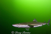 spiny dogfish, piked dogfish, spurdog, or dog shark, Squalus acanthias, Tahsis Inlet, Vancouver Island, British Columbia, Canada ( Discovery Passage )