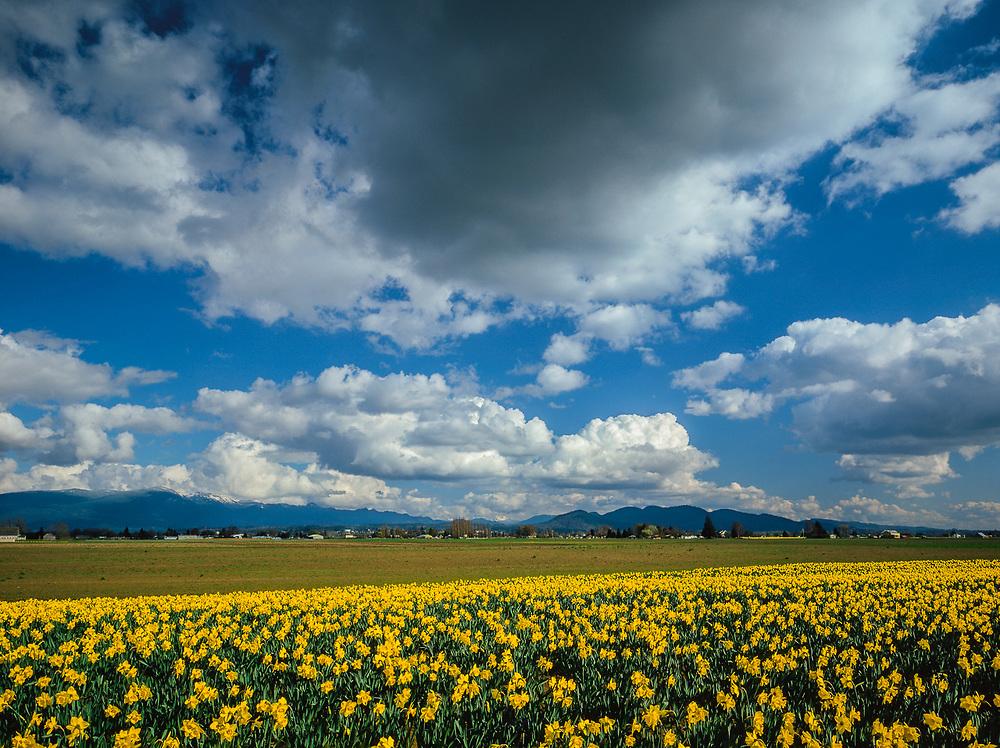 Daffodil field, March, Skagit River Valley, Washington, USA