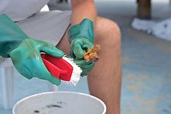 Cleaning Turtle Toe Bone