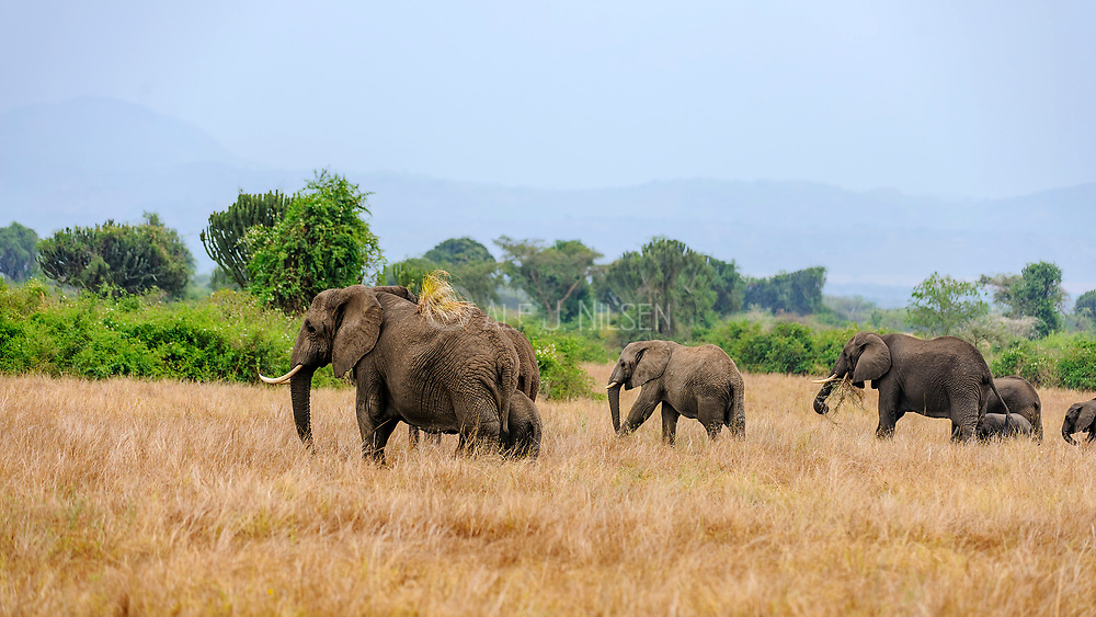 African savannah elephant (Loxodonta africana) from Queen Elisabeth NP, Uganda.