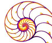 X-ray of a Chambered Nautilus (Nautilus pompilius) shell.