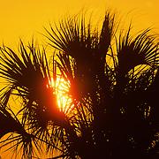 Palmetto at sunrise. Merrit Island National Wildlife Refuge. Florida