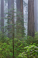 New young redwood tree growing in forest with older tall trees in fog, Del Norte Coast Redwood State Park, California
