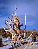 CAEWM_08 - USA, California, Inyo National Forest, Ancient Bristlecone Pine Forest Area, Old bristlecone pine and late fall snow on ground at the Patriarch Grove in the White Mountains.
