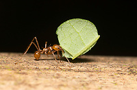 Leafcutter Ant, Atta cephalotes, carries a piece of leaf to its nest. Sarapiquí, Costa Rica