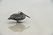 Brown Pelican (Pelecanus occidentalis urinator)<br /> Sante Fe Island<br /> Galapagos<br /> Ecuador,  South America