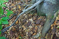 Rusty hand grenades deposited during borderland fights in WW II at the trunk of a Common beech (Fagus sylvatica). Polish - Slovakian border, Mount Durkovec (1189 m), Jarabá Skala Nature Reserve, Runina area, Slovakia.