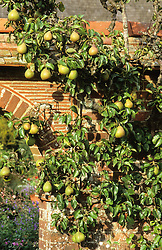 Pyrus  'Doyenne du Comice' - Pears, trained over a brick arch at Great Dixter