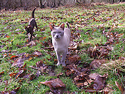 Lilac grey and brown Burmese cats walking in woodland grass with fallen leaves, Butley, Suffolk, England, UK