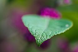 Wild purple berries, Trinity River Audubon Center, Dallas, Texas, USA.