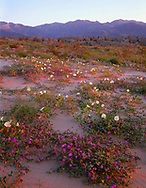 CADAB_105 - USA, California, Anza Borrego Desert State Park, Desert sand verbena and dune evening primrose blooming on dunes at sunrise with the Santa Rosa Mountains in the distance.