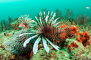 Invasive Red Lionfish, Pterois volitans, prowl a reef offshore Palm Beach, Florida, United States.