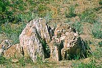 Petrified Sequoia stump (Sequoia affins) Florissant Fossil Beds National Monument, Colorado.