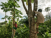 Tricher and Rodrigo Levo climbing up Papaya tree to pick up fruits for an afternoon snack.