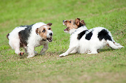 Two black, white and tan Jack Russell terrier dogs play fighting in a park <br /> 9 Aug 2010 .Images © Paul David Drabble..