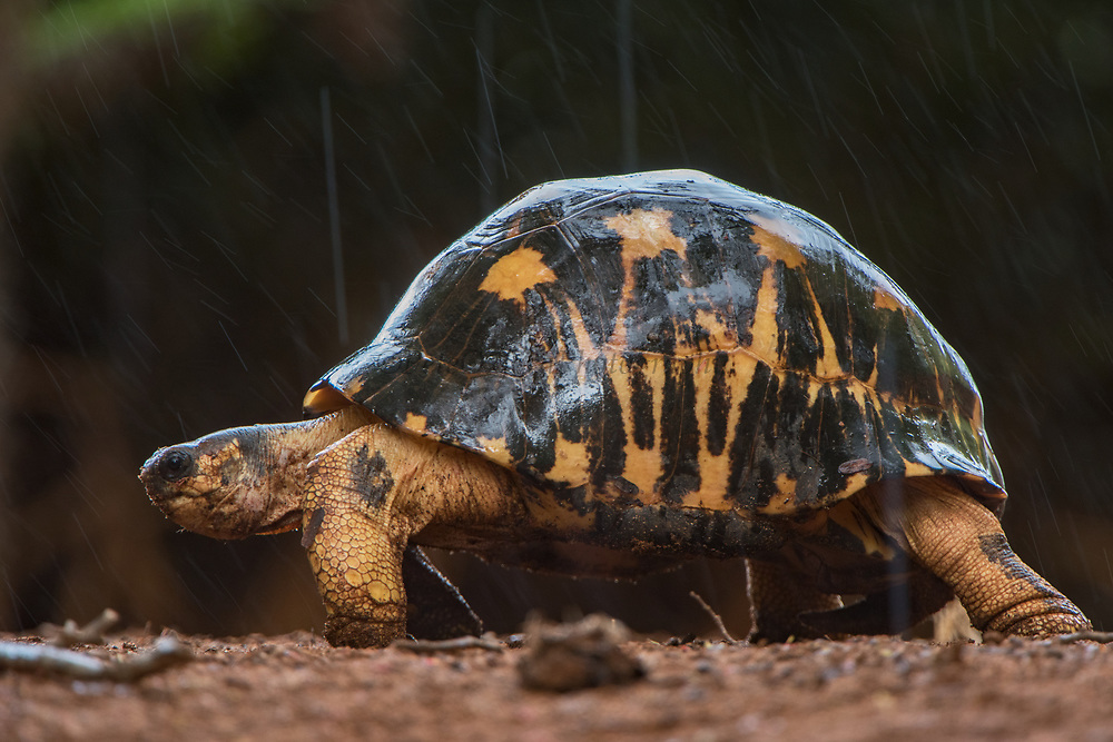Radiated tortoise (Astrochelys radiata)<br /> Berenty<br /> South Madagascar<br /> MADAGASCAR<br /> ENDEMIC<br /> CRITIUCALLY ENDANGERED