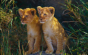 Two cubs on a kopje (rock outcropping)