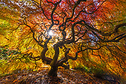 The afternoon sun shines through the canopy of a Japanese maple tree (Acer palmatum) that is displaying its full range of fall colors in the Kubota Garden, Seattle, Washington.