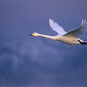 Whooper Swan (Cygnus cygnus) flying over Lake Kussharo. Japan