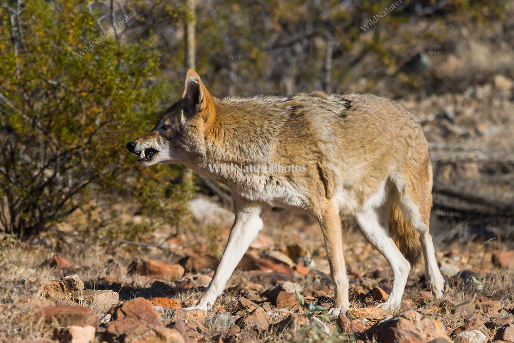 A coyote  (Canis latrans) shows its teeth while hunting in the desert (Tucson, Atizona)