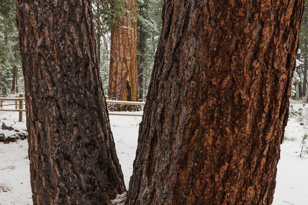 Old growth ponderosa pine (Pinus ponderosa), April, eastern Cascade Mountain Range, LaPine State Park near Bend, Oregon