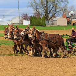 Smoketown, PA / USA - April 1, 2016: An Amish farmer uses a team of horses to plow a field in the springtime.