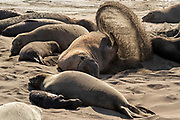 A male elephant seal (Mirounga angustirostris) tosses sand into the air while resting next to several female seals on the beach at the Piedras Blancas Elephant Seal Rookery near San Simeon, California. Elephant seals typically spend 9 months at sea, coming to shore only to give birth, mate and molt. Elephant seals are named for the long snouts, called proboscis, that male seals develop. The Piedras Blancas Elephant Seal Rookery is part of the Piedras Blancas State Marine Reserve and Marine Conservation Area, managed by California.