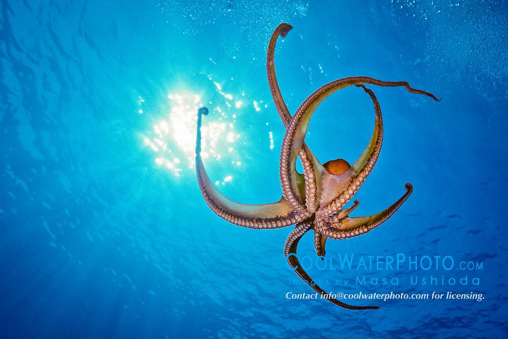day octopus, or big blue octopus, Octopus cyanea, Kona Coast, Big Island, Hawaii, USA, Pacific Ocean