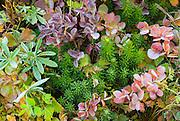 Fall groundcover, Mount Rainier National Park, Washington