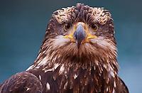 Portrait of immature bald eagle