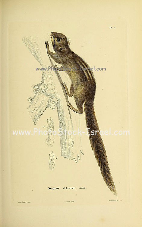 Tree squirrel (Sciurus) from Souvenirs d'un voyage dans l'Inde exécuté de 1834 à 1839 (A voyage to India) by Delessert, Adolphe, published in Paris in 1843